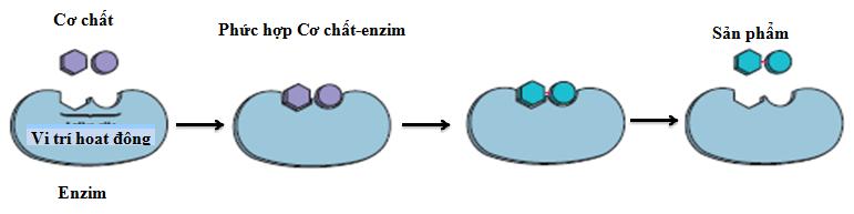 cơ chế của enzim.png
